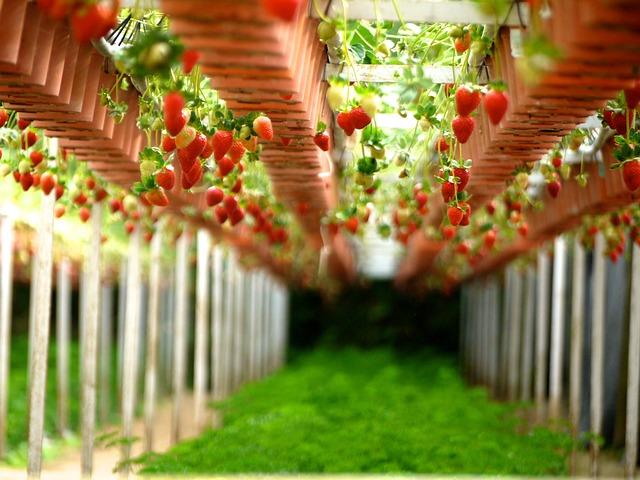 Czy uprawa truskawek jest opłacalna?